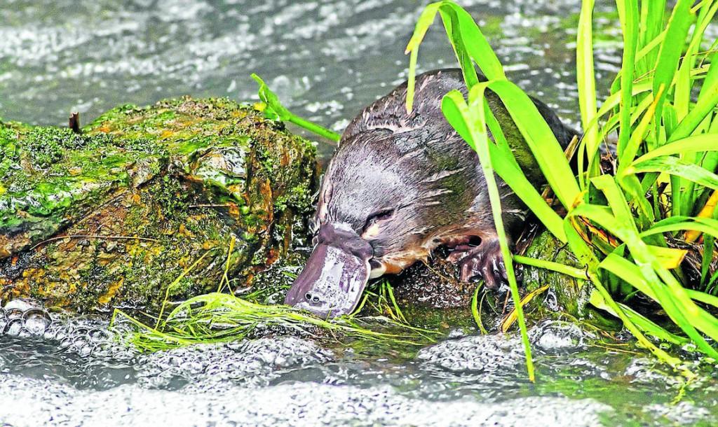 river-platypus