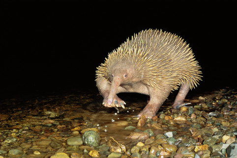 Long-beaked echidna (Zaglossus bruijni) crossing water, Papua New Guinea , endemic, New Guinea highland forests